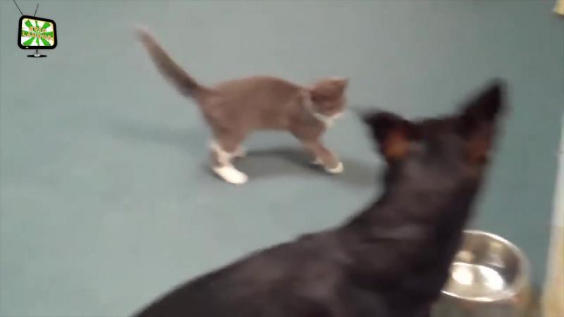 Бесстрашные коты🐈 ★ 29 кошек, которые полностью задиры.