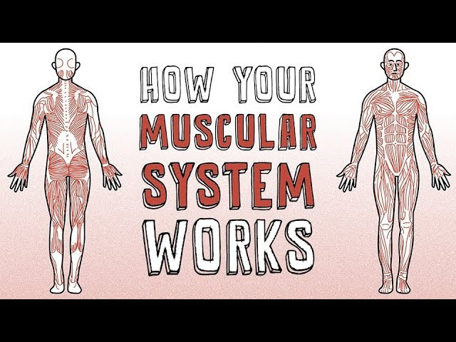 How your muscular system works - Emma Bryce