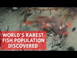 Red Handfish Divers discover new population of world's rarest fish