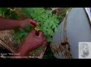 Опыляем люффу и арбуз