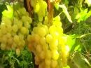Виноградник в Алтайском крае