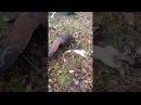 Пустынный канюк поймал горностая (Male harris hawk on stoat)