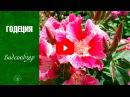 Годеция Цветы уход и выращивание из семян сад и огород с hitsadtv