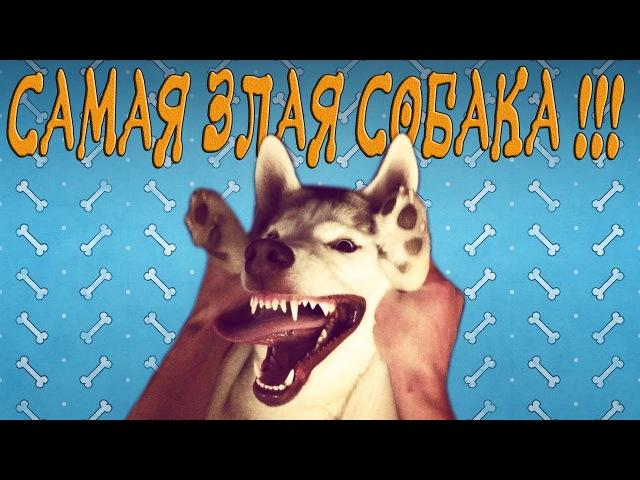 ЗЛАЯ СОБАКА ХАСКИ ПСИХ THE EVIL DOG HUSKY CRAZY