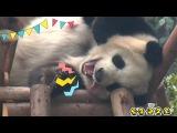 Panda Yawns And Tongue Out iPanda