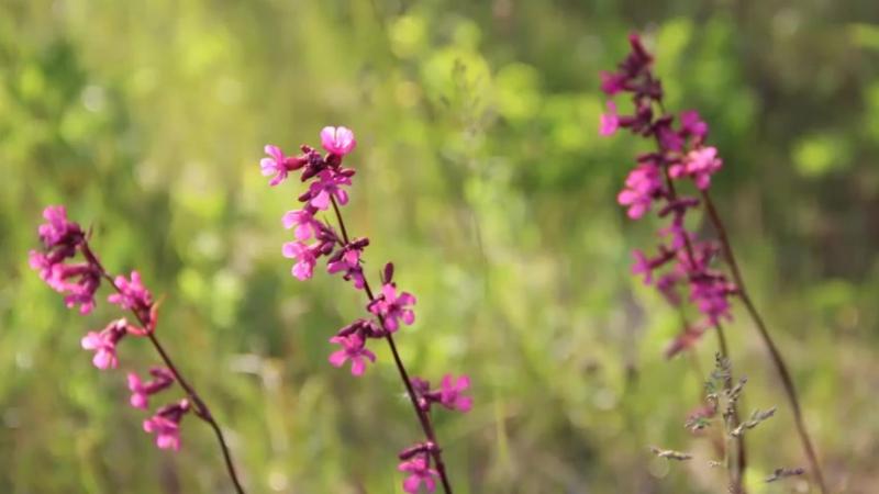Растительный мир деревни Большая Своротва. Презентационный видеоролик