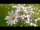 Ромашки ромашки ромашки цветы музыкальная открытка