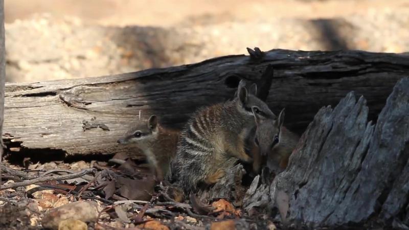 Numbat / Сумчатый муравьед / Myrmecobius fasciatus