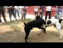 Собачьи бои кане-корсо vs сао алабай.360