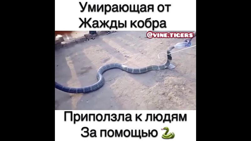 Умирающая от жажды кобра приползла за помощью к людям