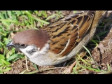 Жан Филипп РАМО - Перекличка птиц (фортепиано)