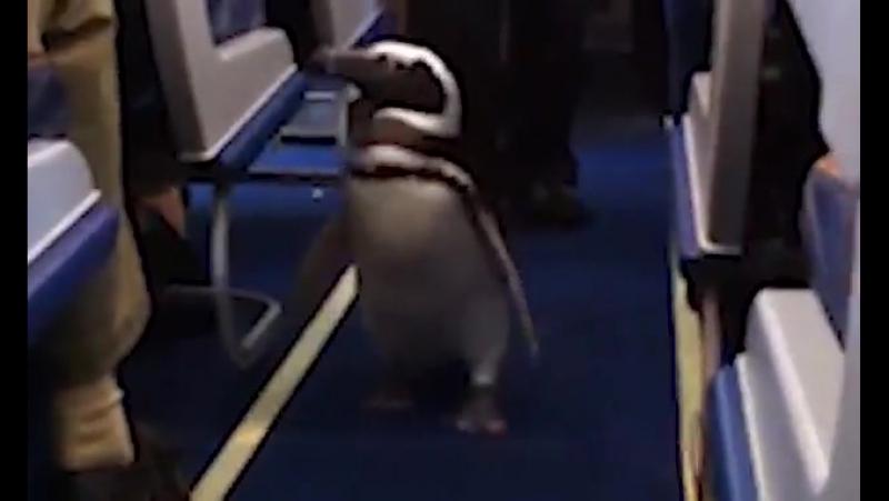 Одним из пассажиров рейса авиакомпании Southwest из Сан-Диего в Солт-Лейк-Сити стал пингвин Пит