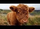 Милые шотландские коровы