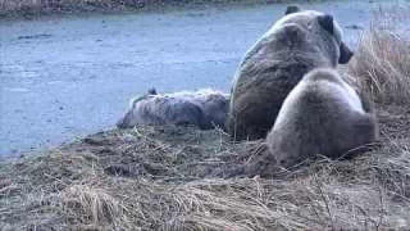 Медведица стережет и ласкает мёртвого детёныша Аляска She-Bear protects and caresses dead cub