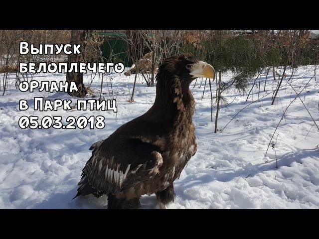 Выпуск белоплечего орлана в Парк птиц 05.03.2018