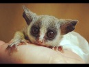 Senegal Galago Senegal bushbaby Cute Tiny Monkey
