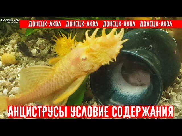 советы как содержать анциструсов Ancistrus Zierfische HOW TO Breed Ancistrus fish