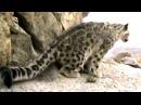 Ирбис. Снежный барс. Снежный леопард. Животные №78