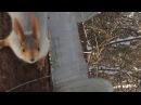 Белка позирует перед камерой в лесу. Новосибирск Дендрологический парк.