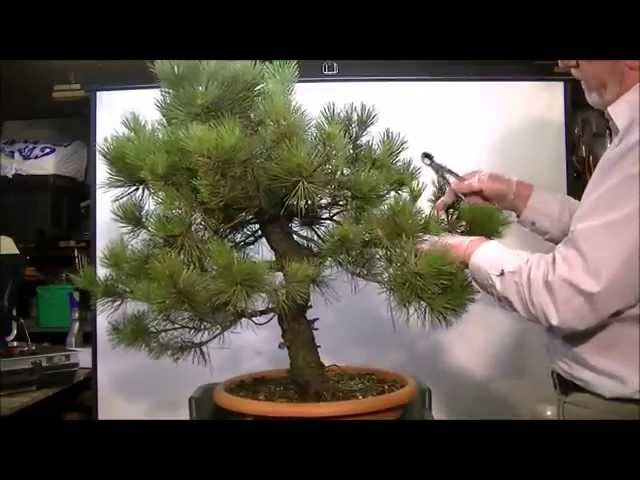 First styling of a Pinus thunbergii no: 26