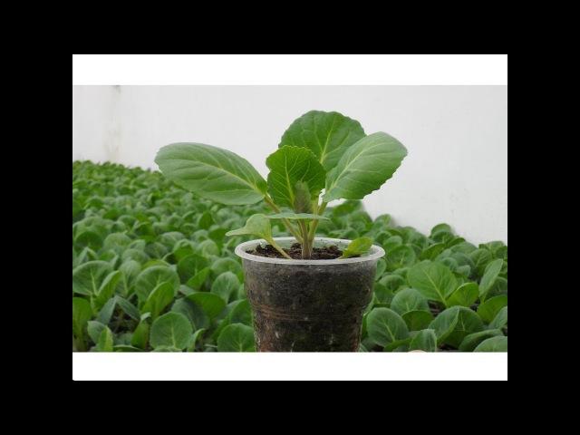 Рассада капусты Секреты выращивания крепкой здоровой рассады капусты