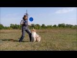 Работа на семинаре по фризби-фристайлу - австралийская овчарка Персик часть 2
