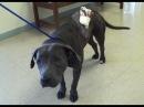 Vet Ranch на русском - Огромная рваная рана на спине у собаки породы питбуль / Homeless Pit Bull with Huge Wound