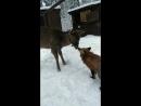 Олень и лиса целуются. 😍😍😍 Любопытные малыши. Айхо и Хельга сегодня познакомились! Пятнистый олень и лисичка огневка для
