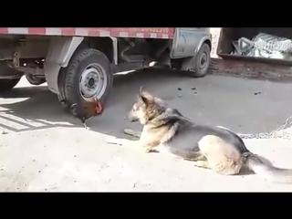 Дерзкий петух нападает на собаку ...