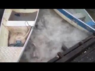 Что произойдет, если бросить мясо пираньям