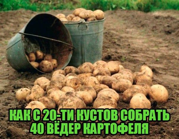 Сажать картошку с покойником 81