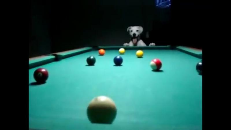Ничего особенного, просто собака играет в бильярд