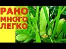 БОЛЬШОЙ и РАННИЙ урожай кабачков от семян до октября