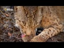 Дикая Иберия Загадка иберийской рыси Wild Iberia Mystery of the Lynx 2012 HDTVRip VO 720p 480