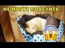 ОЧЕНЬ ГРЯЗНЫЙ ВИДОС. Морские Свинки Требуют Второй Дом / SvinkiShow