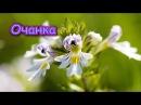 Трава ОЧАНКИ – для лечения ГЛАЗ, АЛЛЕРГИИ, КОЖИ, улучшения ПАМЯТИ...