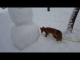 Tiki the fox is digging deep in the snow (Day 328)