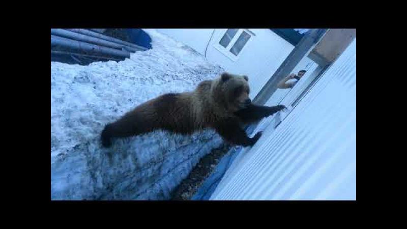 медведица пришла в гости покушать - 2.Камчатка,Россия(bear came to visit out - 2.Kamchatka, Russia)