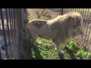 Оплеуха белому льву от львицы Сафари парк львов Тайган