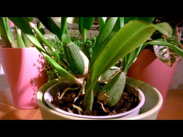 Орхидея Онцидиум_ Особенности ухода