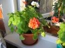 У комнатной ГЕРАНИ желтеют и сохнут листья. Что делать? Проблемы с ПЕЛАРГОНИЕЙ и их решение