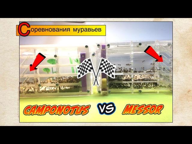 Соревнования муравьев Camponotus albosparsus VS Messor Structor