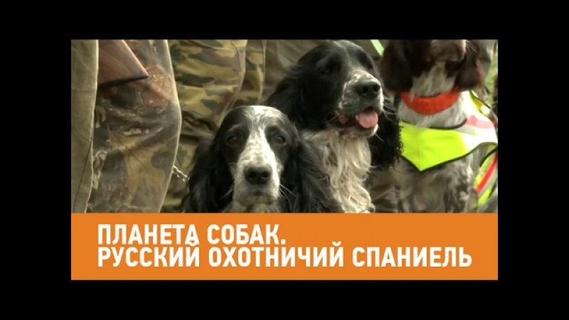 Русский охотничий спаниель. Планета собак 🌏 Моя Планета