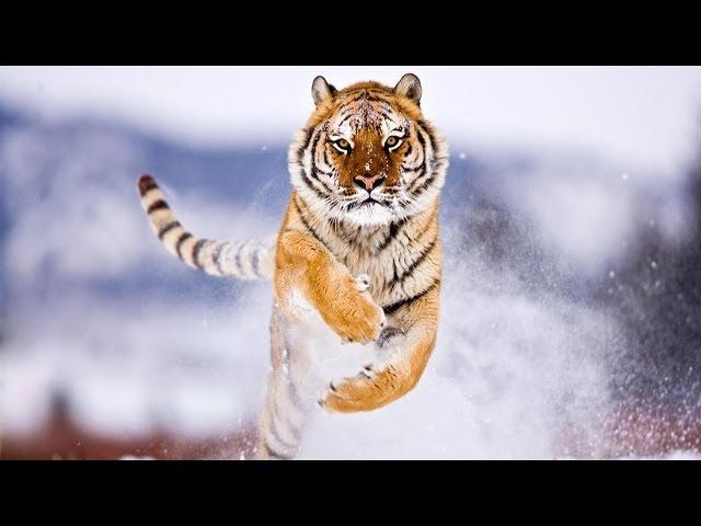 Амба. Русский Тигр \ Animal Planet HD