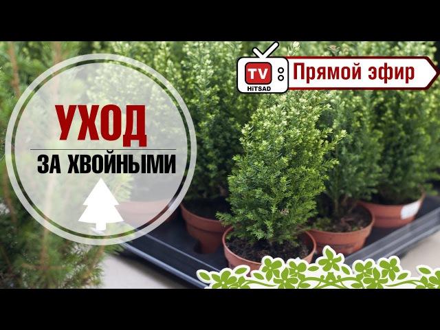 Туи и можжевельники. Как правильно выбрать хвойники. Уход за хвойными. растениями.