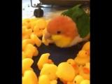 Попугай в уточках