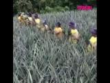 Сбор урожая ананасов