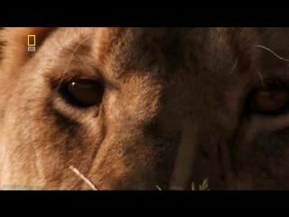 «Планета хищников: Лев» (Документальный, природа, животные, 2007)