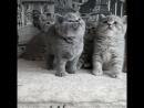 помет С от 05 02 2018 Британские котята с питомника Мирасинель