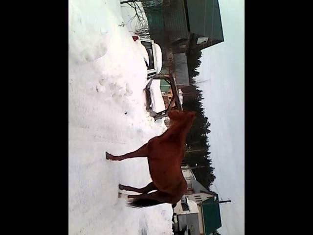 Как срёт лошадь